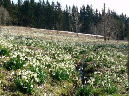 Jaro - bledule kolem Hříbku